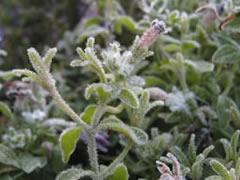 frozen_flower.jpg